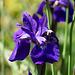 Iris (Siberian)