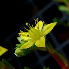 Graptosedum Flower
