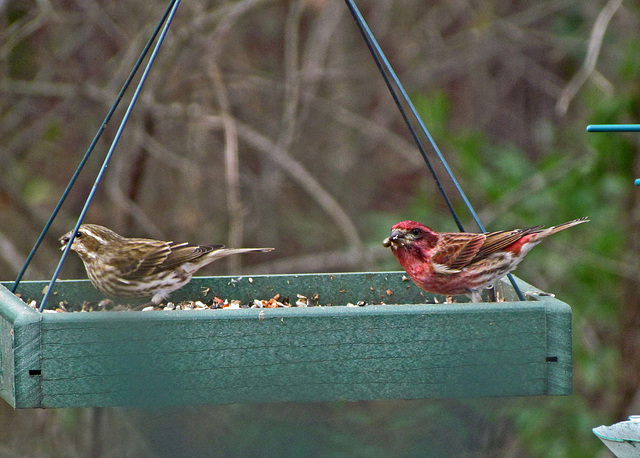 Purple Finch with Tick