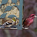Goldfinch and Male Purple Finch