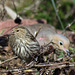 Pine siskin with mourning dove