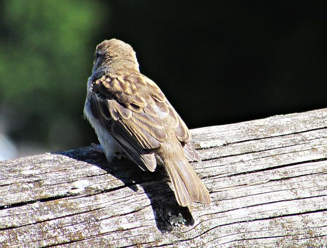 Sparrow on log!