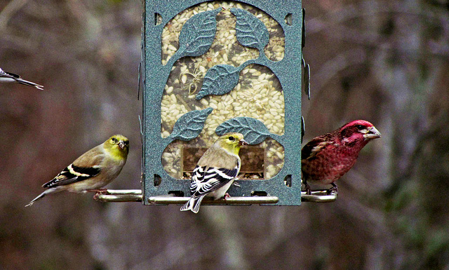 Goldfinches and Male Purple Finch