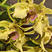 "Dendrobium ""Bruce Gordon"" – Pennsylvania Convention Center, Philadelphia, Pennsylvania"