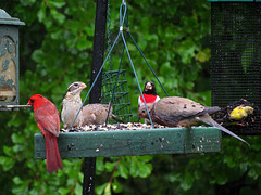 Cardinal, Rose-Breasted Grosbeaks, Mourning Doves and a Goldfinch