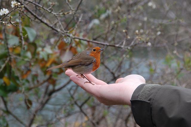 A bold robin