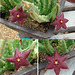 Stapelia with atypical flower