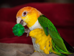 C is for Cute & Colorful Caique