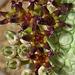 Pseudolithos flower macro