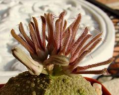 Pseudolithos cubiformis bud and bloom