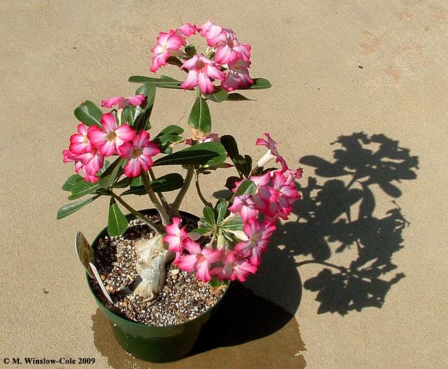 Adenium obesum in flower