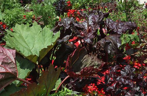 Bloom-Rhubarde , poirée et Heuchères