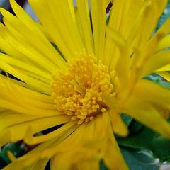 Faucaria tuberculosa flower macro