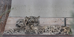 Schneeleoparden (Wilhelma)