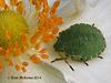 Green shield bug. (Palomena prasina)  008 copy