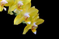 Phalaenopsis Sogo Golden Fangtastic
