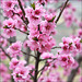 """""""Quiero hacer contigo lo que la primavera hace con los cerezos....."""