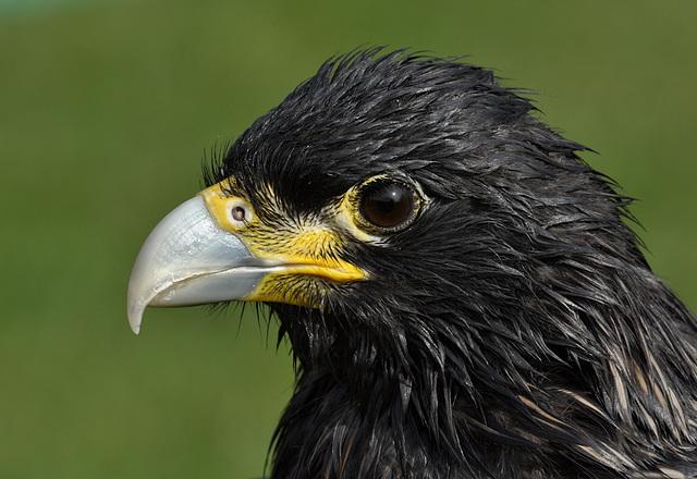 Cruel Beak