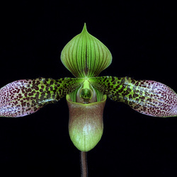 Paphiopedilum China Dragon