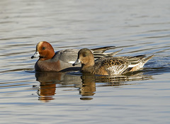 mr and mrs wigeon