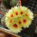 Notocactus flowers