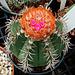 Melocactus metanzanus flower