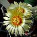Astrophytum Super Kaboda flower