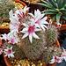 Mammilaria flowers