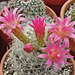Neoporteria flowers