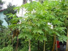 Un papayer