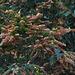 20100315-1068 Flemingia strobilifera (L.) W.T.Aiton