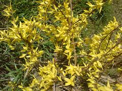 """Spring in my country: forsycja (""""złoty deszcz"""") -  Forsythia (""""The golden rain"""")"""