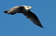 Herring Gull - immature
