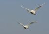 Vol de cygnes