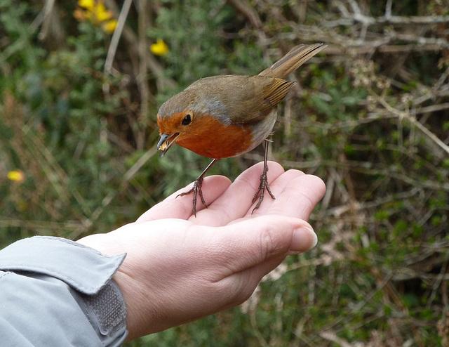 The bold robin