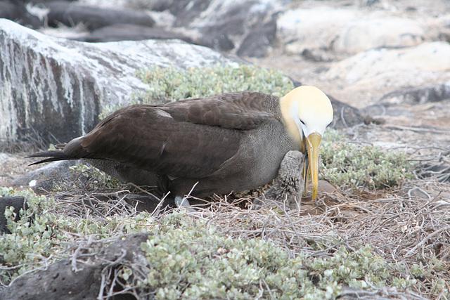Wave Albatros & chick