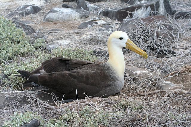 Wave albatros on nest