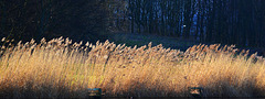 Reeds at the edge of the lake
