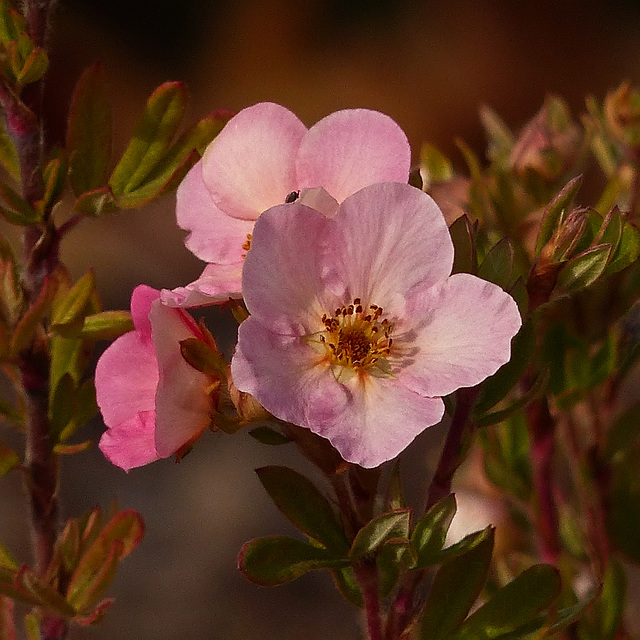 Pink Shrubby Cinquefoil