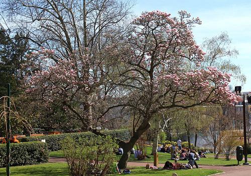 Magnolia soulangeana (2)