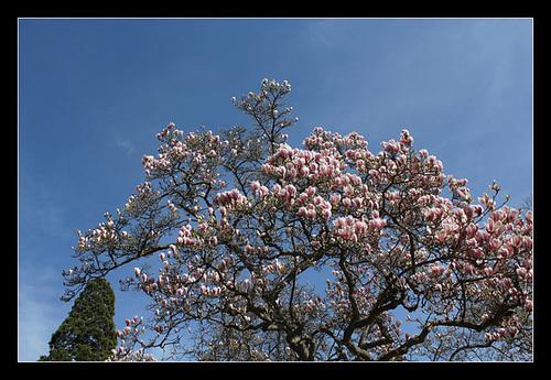Magnolia soulangeana