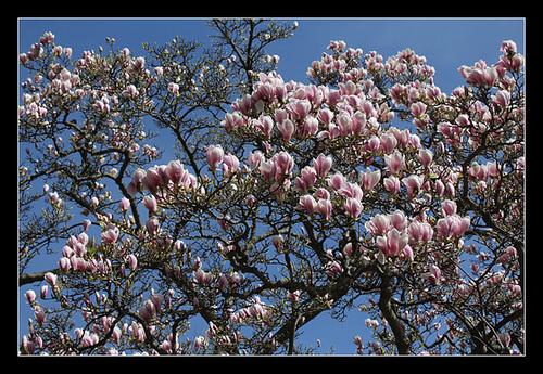 Magnolia soulangeana (3)