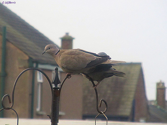 01 collared doves