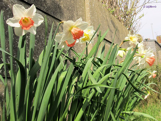02 daffodils