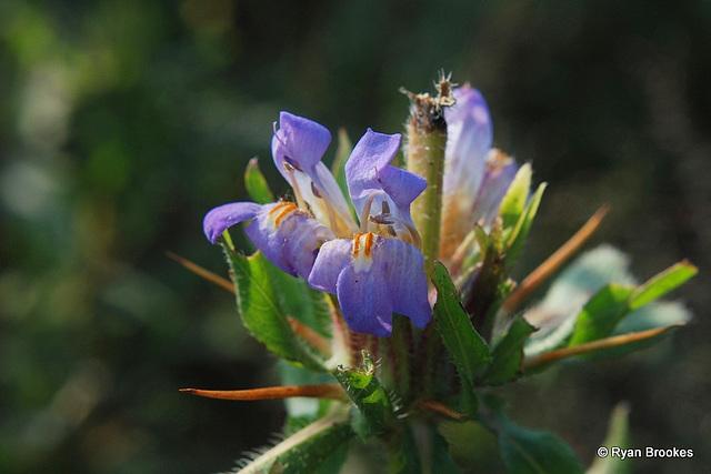 20091105-0176 Hygrophila auriculata (Schumach.) Heine