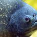 Roter Piranha / red-bellied piranha / Piranha rouge