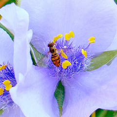 Spiderwort with hover fly