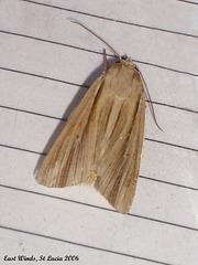 SL33E Leucania humidicola