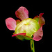 Pitcher Plant Flower