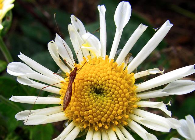 Bug on a chrysanthemum